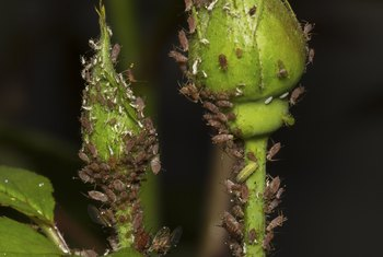 A strong spray from a garden hose helps remove aphids.