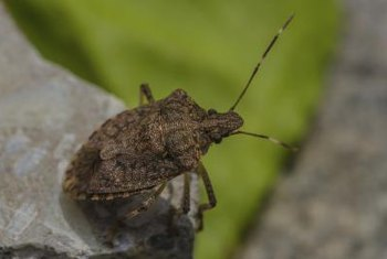 Mature squash bugs spend the winter hiding under plant debris.