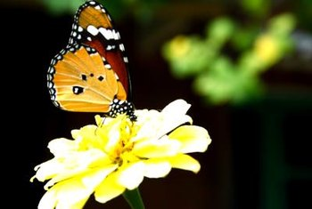 Besides nectar plants for adult butterflies, include food for larvae in a butterfly garden.
