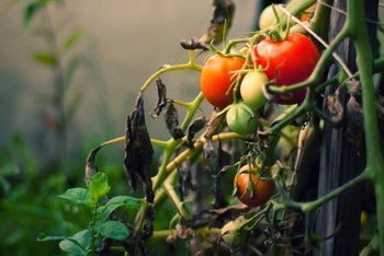 Never try to lime the soil when you have tomatoes planted, or you may kill them.