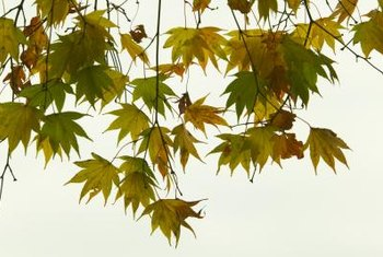 Japanese maples can have green or red leaves.