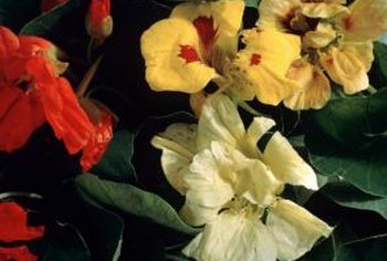 Nasturtiums are available in a variety of colors, from cream to burgundy.