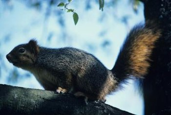 Squirrels can climb trees, powerlines, fences and buildings to enter your yard.
