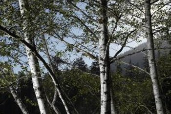 Birch trees feature white, gray or cinnamon colored papery bark.