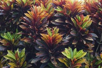 "Florists prize ""Petra"" croton's colorful leaves for their tropical floral designs."