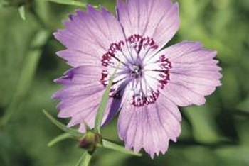 Dianthus come in single and multi-petal varieties.