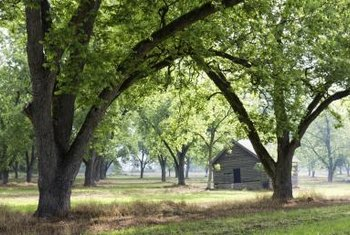 Pecan trees do double duty as shade trees and nut producers.