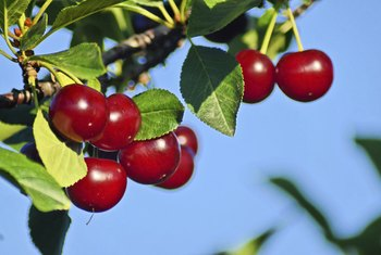 Tart cherries are used in supplements and in products such as pies and juice.