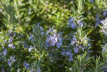 Rosemary blooms in white and shades of blue, lavender or pink.
