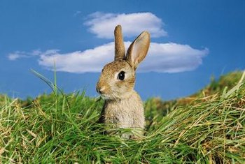 Adorable in photographs, rabbits cause irreversible damage in the garden.