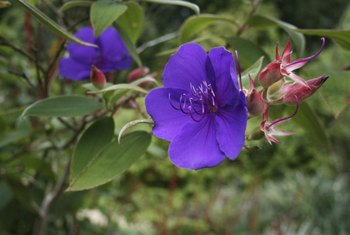 Tibouchina's pink buds contrast well with the deep purple flowers.