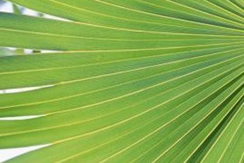 Palmetto palms have leaves in a fan shape.