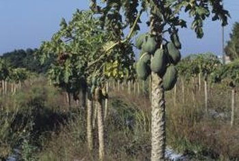 Papaya is a tropical plant that produces large fruit.