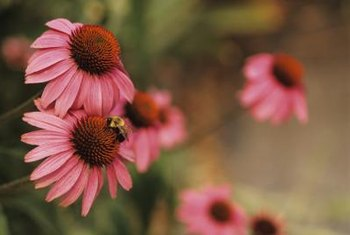 Pink coneflower petals arch backward, forming an unusual daisy-like blossom.