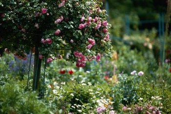 Tree roses can add another dimension to the garden.