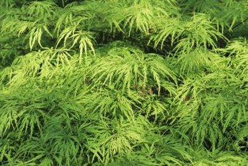 Lace leaf maples are easily identified by their deeply dissected leaves.