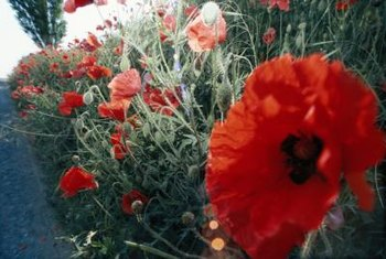 How to transplant a perennial poppy home guides sf gate transplanting oriental poppies often results in one bloom free season mightylinksfo