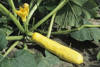 Only female squash blossoms develop into fruit.