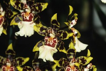 Though terrestrial orchids grow in soil, tropical orchids grow on tree bark.
