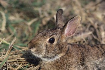 Rabbits primarily feed in the garden in the evening or early morning hours.