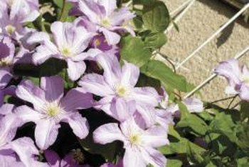 Clematis planted in containers can serve as wall-coverage.