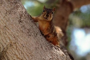 Squirrels make their nests high in trees.