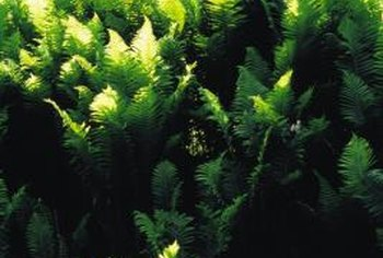 Ferns grow in a woodland landscape.