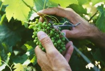 Grapes grow after flowers are pollinated in May or June.