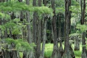 Cypress trees can reach 60 to 100 feet tall.