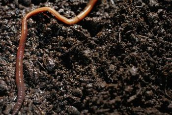 Attract worms to your garden with chopped leaves, grass clippings, compost or manure.
