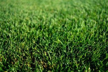 It is important to keep your lawn free of weeds, as they compete with turf for water, sunlight and nutrients.