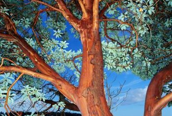 Madrone trees bear berries in summer and attract birds.