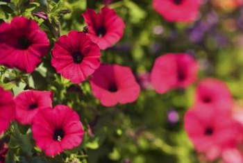 Petunias put on a display of colorful trumpet-shaped blossoms.