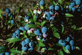 Sulfur and ammonium sulfate benefit blueberry bushes.