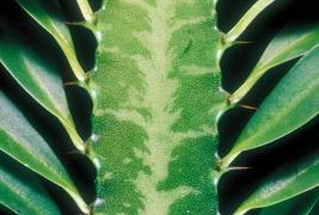 African tall cacti are part of the euphorbia family of succulents.