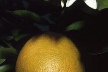 Some orange varieties may have a green tint but be fully ripe.