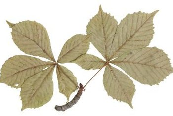 Hawthorn leaves vary in shape and color.