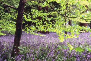 English bluebells grow in forested areas in the wild.