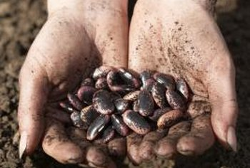 Beans are easy to grow and produce abundantly.