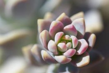Echeveria rosettes propagate readily from leaves or tiny offset replicas.