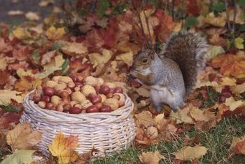 A walnut tree tempts squirrels to help with the harvest.