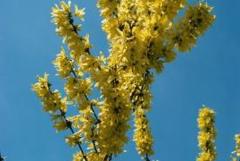 Brilliant yellow flowers take over the forsythia in spring.
