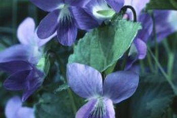Violets thrive in the cool, moist shade of woodland gardens.