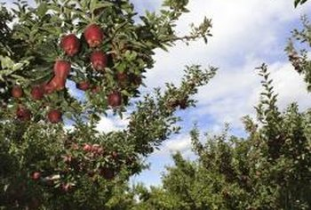 Healthy apple trees repel borers without further assistance.