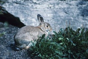 Talcum powder sprinkled on plants may also discourage rabbits from munching them.