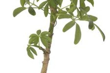 Able to withstand poor lighting and neglect, dwarf schefflera are popular house plants.