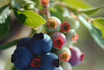 High levels of the pigment anthocyanin give blueberries their color.