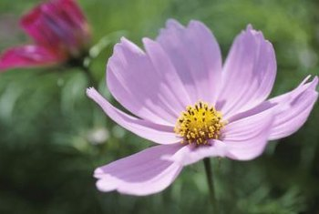 Cosmos plants belong to the Aster family and are native to Mexico.