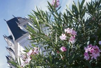 Oleander bears red, white, yellow or pink flowers, depending on the variety you choose.
