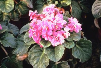 African violets feature central blooms surrounded by foliage.